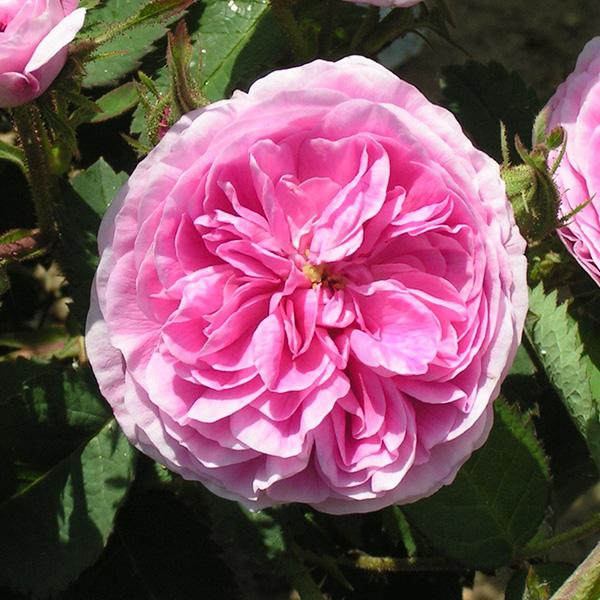 Petite de Hollande - Pink Centifolia Rose