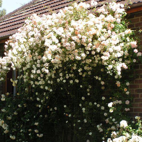 Phyllis Bide - Pink Rambling Rose