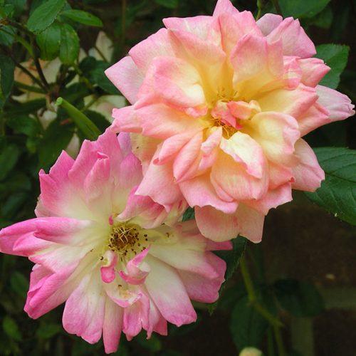 Phyllis Bide - Rambling Rose