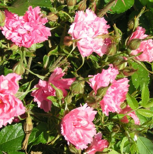 Pink Grootendorst - Rugosa Rose