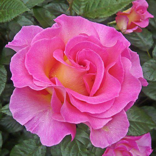 Pink Paradise - Delbard Rose