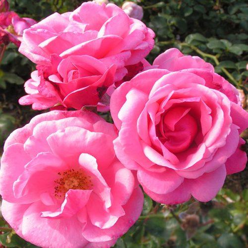 Pink Perpetue - Pink Climbing Rose