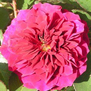 Prospero - Red Shrub Rose