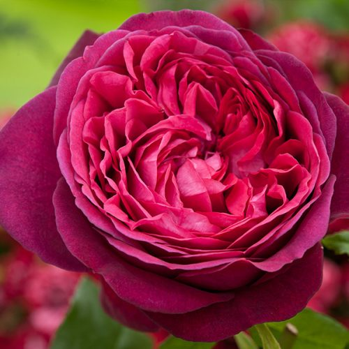 Pure Poetry - Red Nostalgic Rose