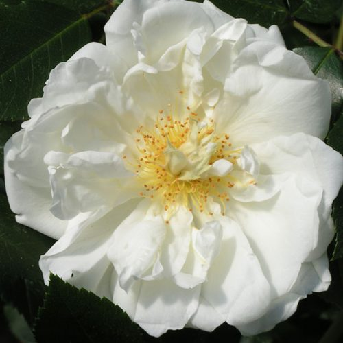 Purity - White Rambling Rose