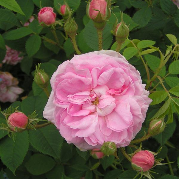 Shrub Rose Queen of Denmark  bareroot