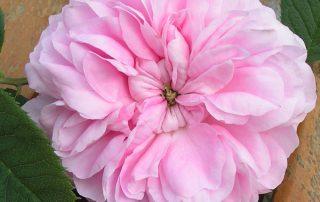 Queen of Denmark - Pink Alba Rose