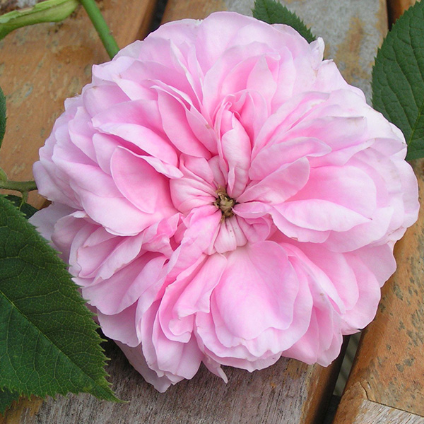 Queen of Denmark - Pink Alba Rose