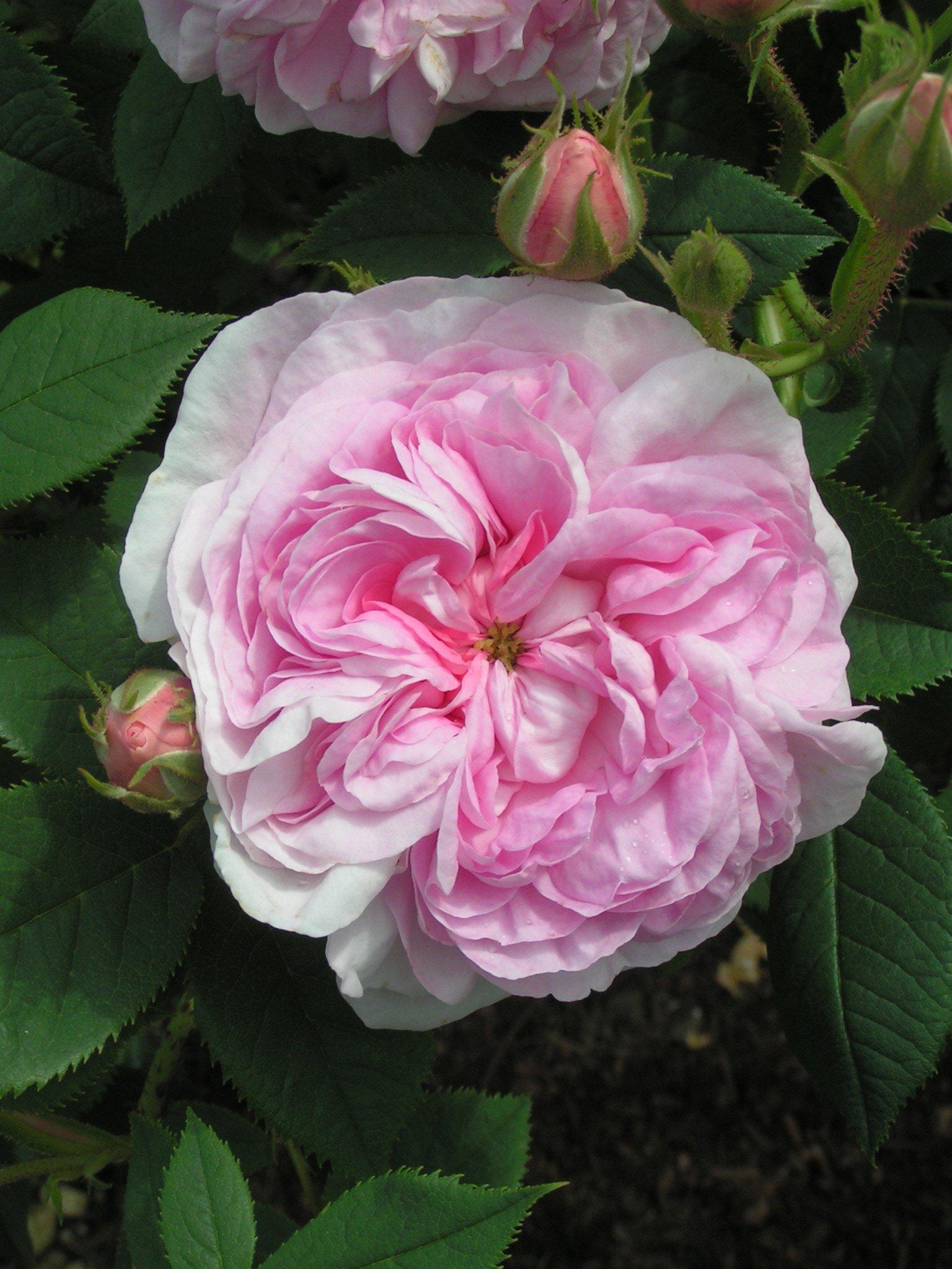 Beautiful Pink Old Rose - Queen of Denmark