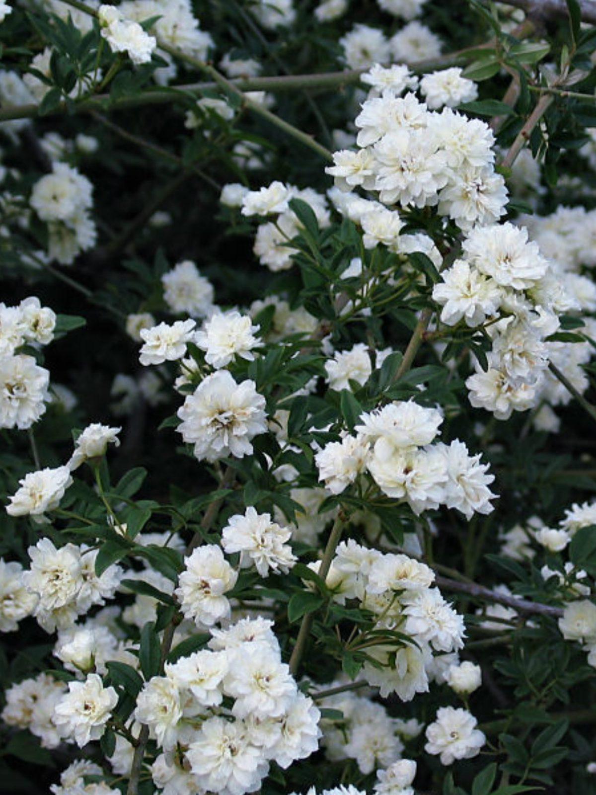 Rosa banksiae 'Alba-Plena'