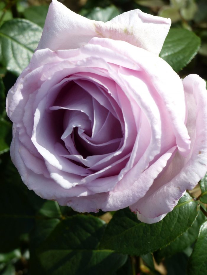 Is there a rose called Eleanor?