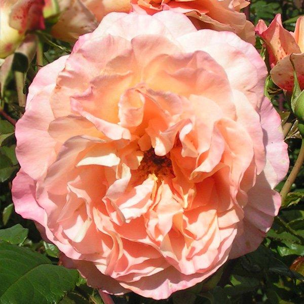 A rose bush called Rachel has large peachy coloured blooms.