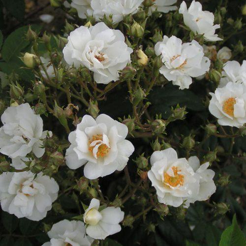 Rambling Rector - White Rambling Rose
