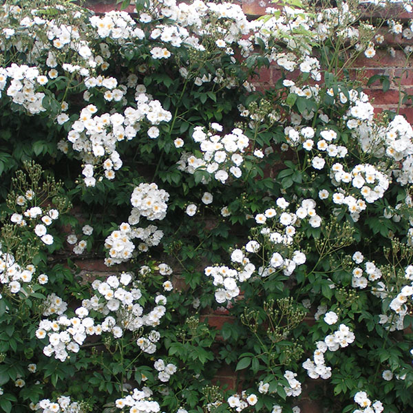 Rambling Rector - White Rambling Rose