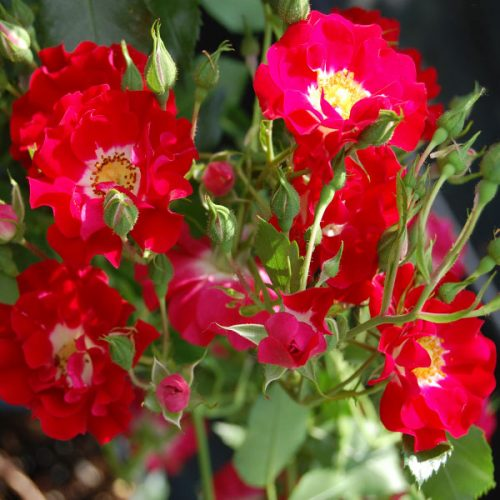 Rambling Rosie - Red Rambling Rose