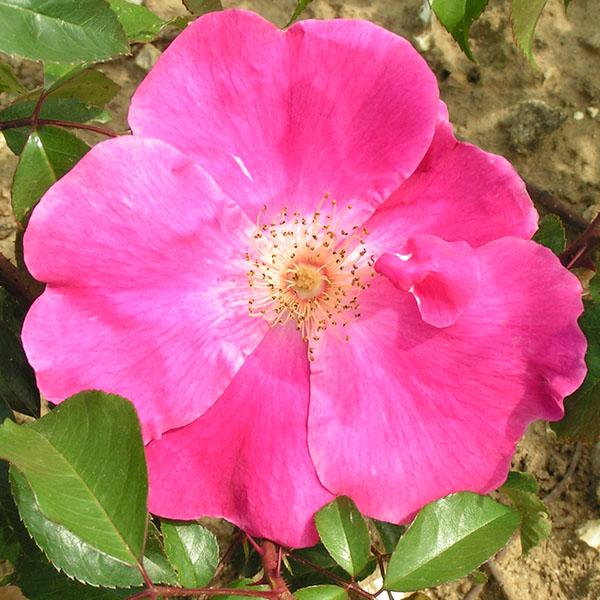 Ramona - Pink Climbing Rose