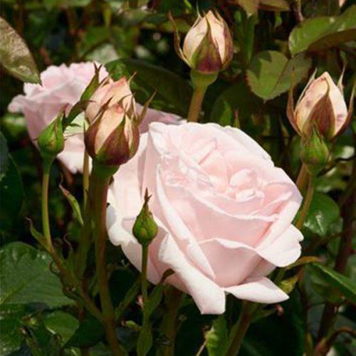 Raquel - Pink Renaissance Rose