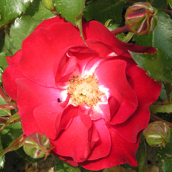 Red Finesse - Bush Rose