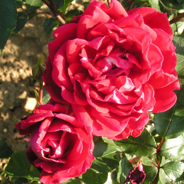 Red New Dawn - Climbing Rose