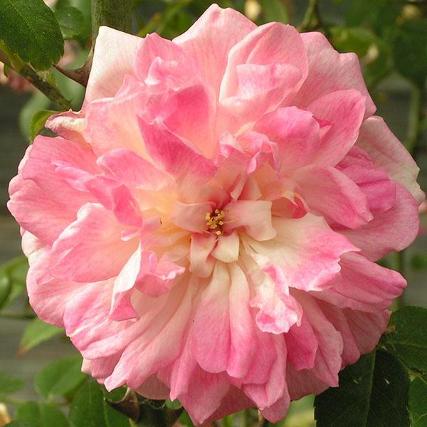 Rene Andre - Pink Rambling Rose