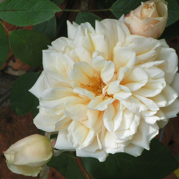 Reve d'Or - Climbing Rose