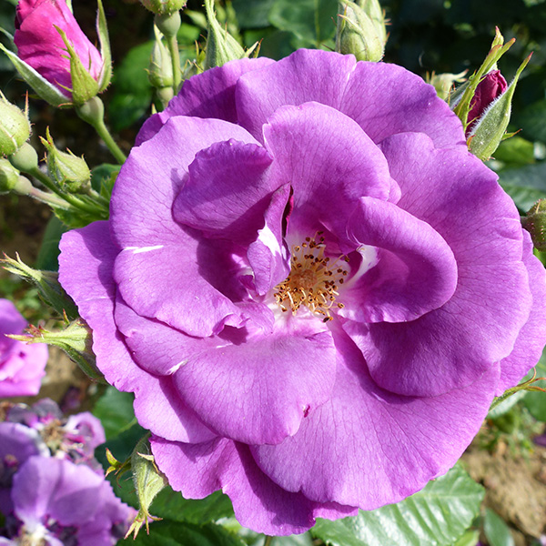 Rhapsody In Blue has purple blooms and has won many awards including RHS Award of Garden Merit.