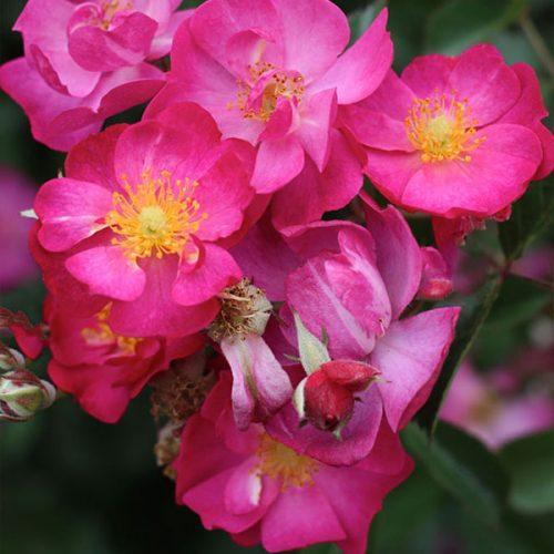 Robin Hood - Pink Hybrid Musk Rose