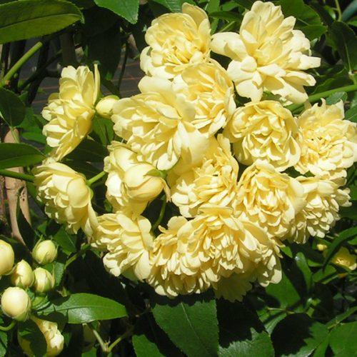 Rosa banksiae 'Lutea' - Yellow Rambling Rose