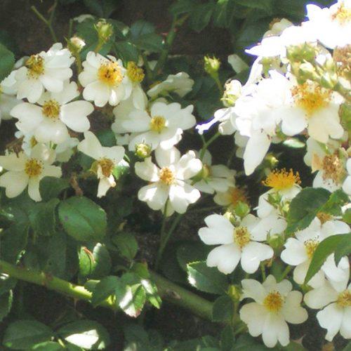 Rosa Lusciae - White Rambling Rose
