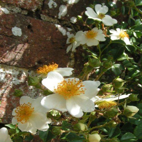 Rosa Luciae - White Rambling Rose