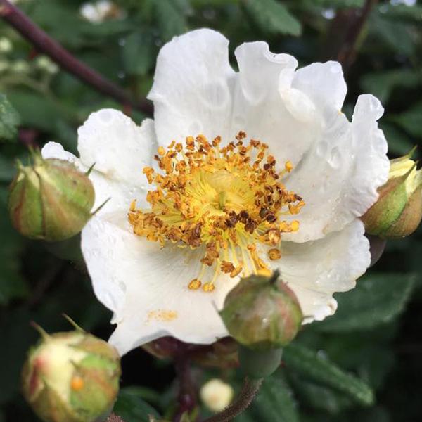 Rosa Arvensis - White Species Rose