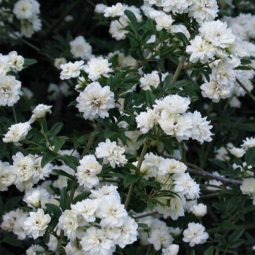 Rosa banksiae 'Alba' - White Rambling Rose