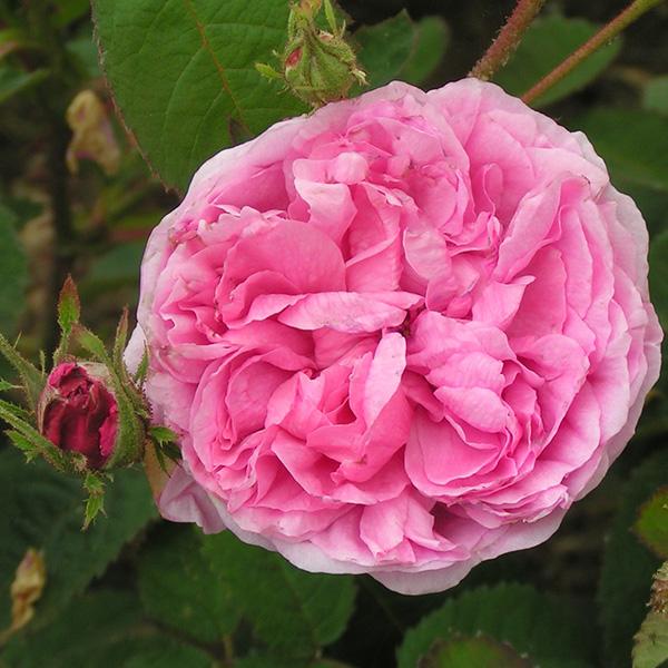 Rosa Centifolia - Pink Centifolia Rose