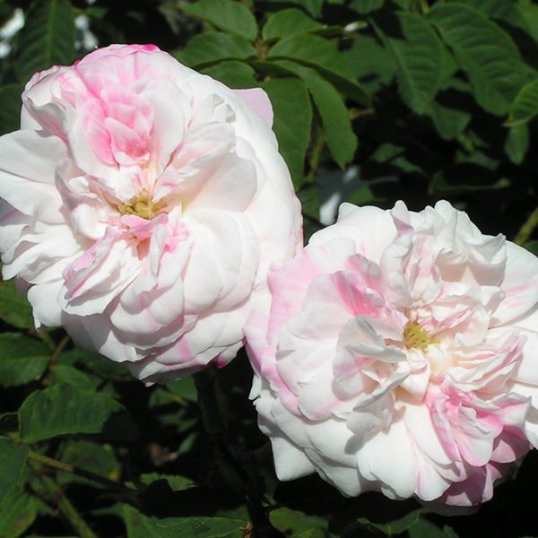 Rosa Centifolia Variegata - Striped Centifolia Rose