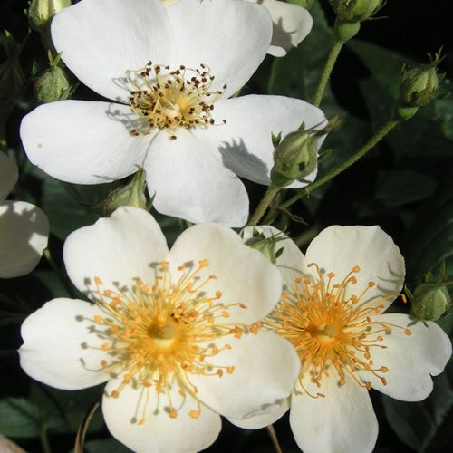 Rosa Helenae - White Rambling Rose