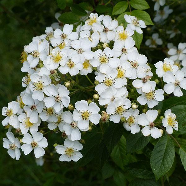 Rosa Helenae - White Rambling Rose