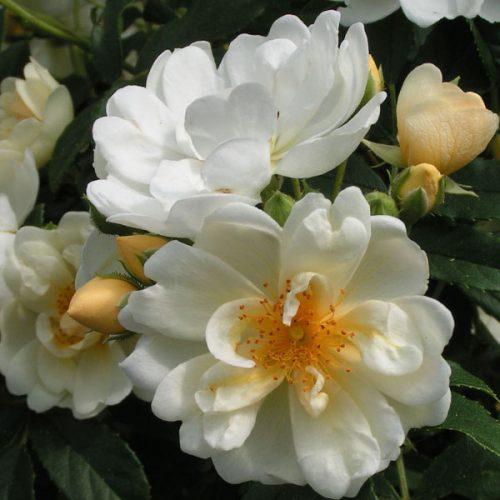 Rosa Helenae Hybrid - White Rambling Rose