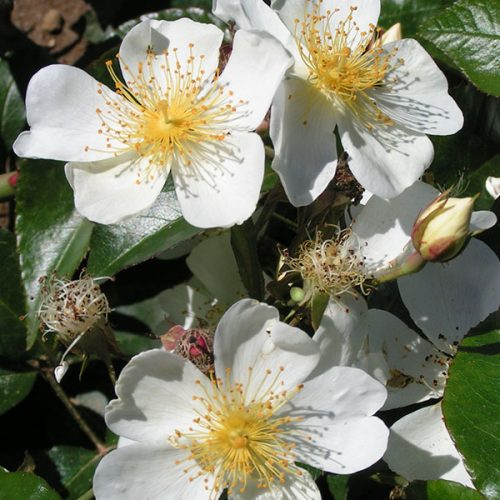 Rosa longicuspis - White Rambling Rose