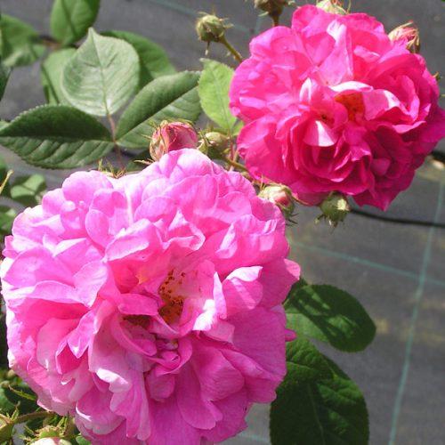Rosa multiflora 'Platyphylla' - Pink Rambling Rose