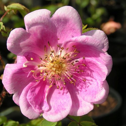Rosa pimpinellifolia 'Mary Queen of Scots' - Pink Species Rose
