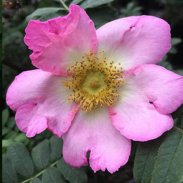 Rosa Roxburghii - Pink Species Rose