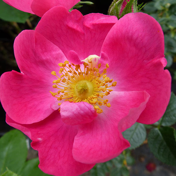 Rosa Rubiginosa 'Amy Robstart' - Species Rose