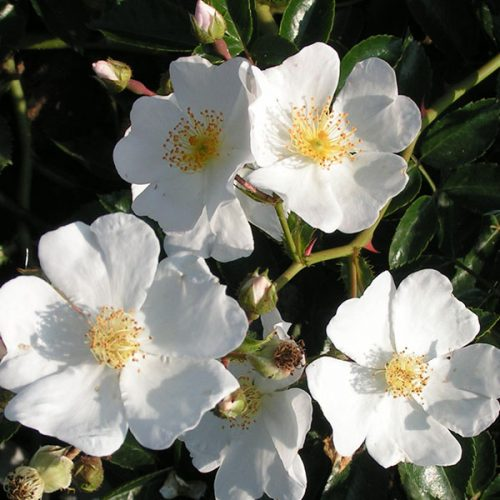 Rosa wichuriana - White Rambling Rose