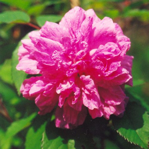 Rosa x l'Heritierana - Pink Climbing Rose