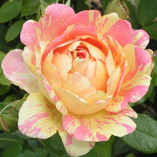 Rose des Cisterciens - Striped Delbard Rose