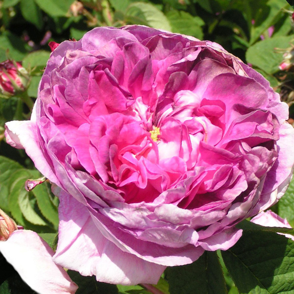 Rose du Maitre d'Ecole - Gallica Rose