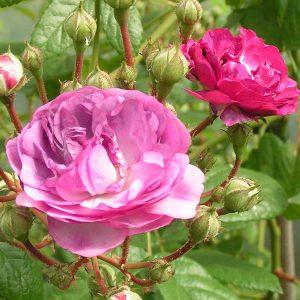 Rosemarie Viaud - Purple Rambling Rose