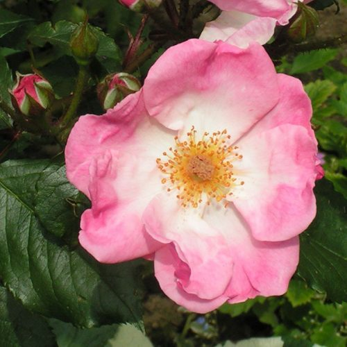 Rosy Cushion - Pink Shrub Rose