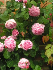 Constance Spry, a pink English rose.