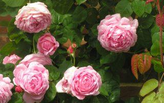 Constance Spry - Pink David Austin Rose